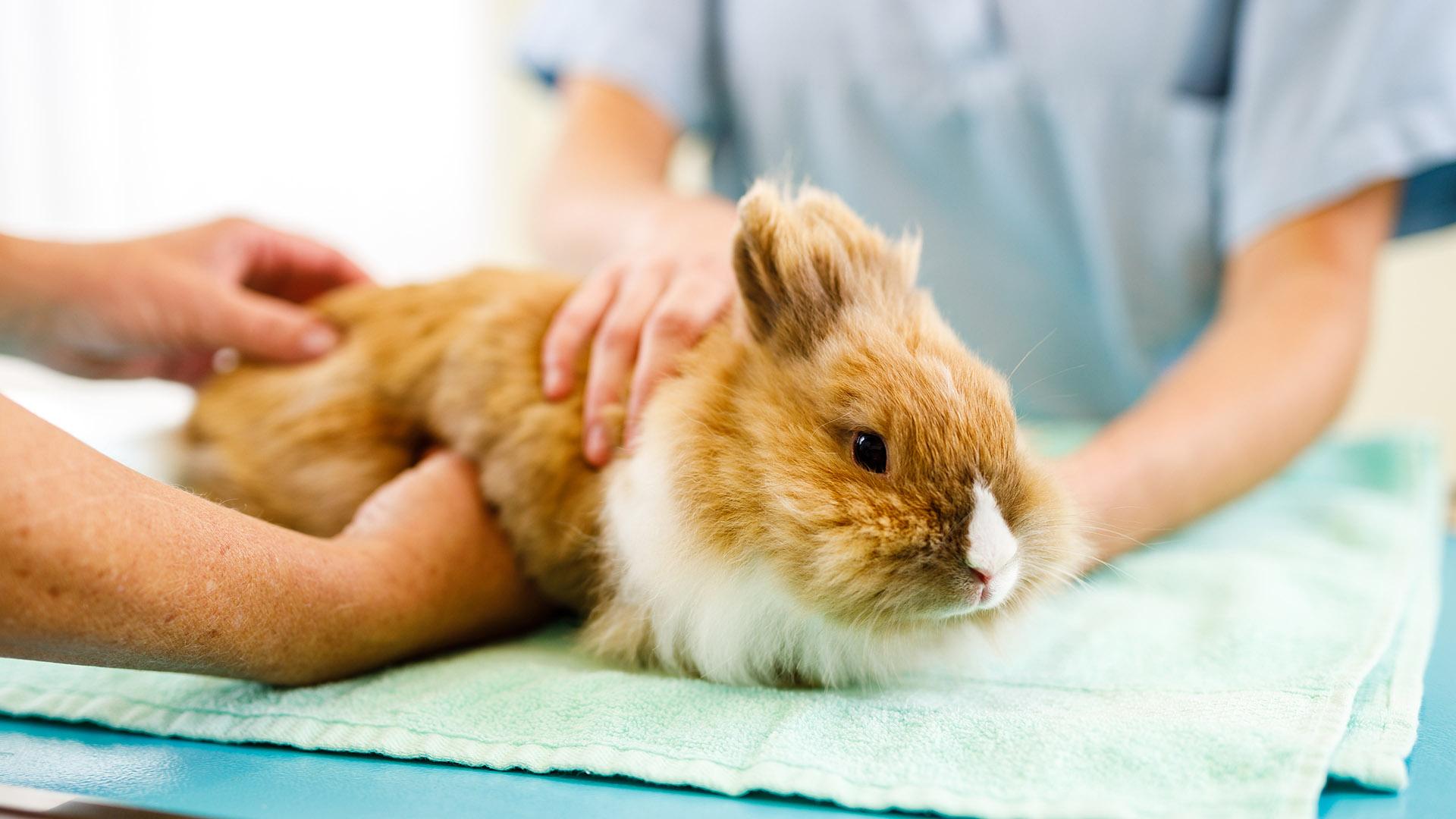 Kaninchen in Behandlung